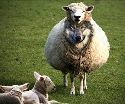 Ravening-wolves-in-sheeps-clothing